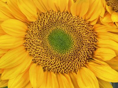 Sunflower Head-Tim Fitzharris-Photographic Print