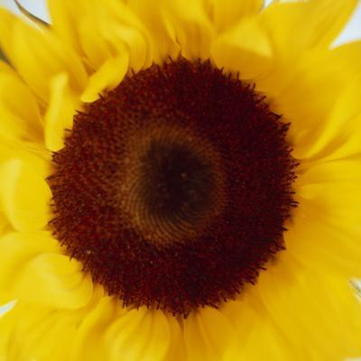 https://imgc.artprintimages.com/img/print/sunflower-helianthus-annuus_u-l-pzfi2q0.jpg?p=0