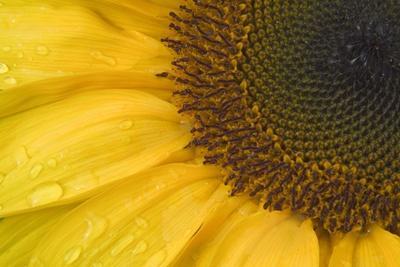 https://imgc.artprintimages.com/img/print/sunflower-helianthus-photo_u-l-q1gwmkr0.jpg?p=0