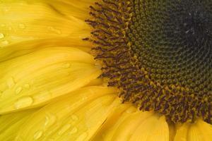 Sunflower, Helianthus (photo)