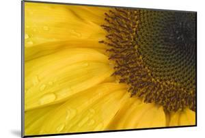 Sunflower, Helianthus (photo)