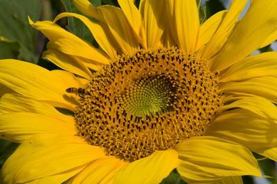 https://imgc.artprintimages.com/img/print/sunflower-i_u-l-q19ykmj0.jpg?p=0