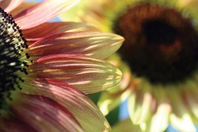 Sunflower II-Tammy Putman-Photographic Print