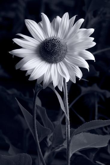 Sunflower In Black & White-Steve Gadomski-Photographic Print