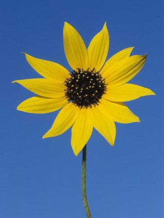 https://imgc.artprintimages.com/img/print/sunflower-in-bloom-welder-wildlife-refuge-rockport-texas-usa_u-l-q10o0mx0.jpg?p=0