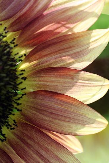 Sunflower IV-Tammy Putman-Photographic Print