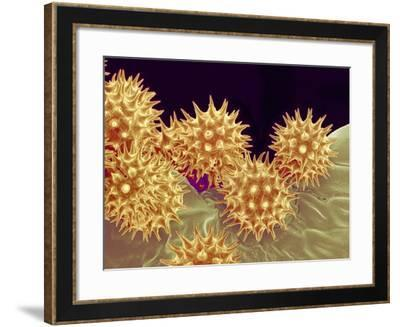 Sunflower pollen at a magnification of x1000-Micro Discovery-Framed Photographic Print
