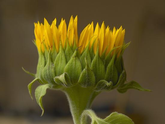 Sunflower Profile-Tim Fitzharris-Photographic Print