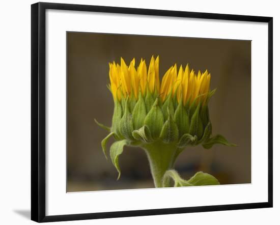 Sunflower Profile-Tim Fitzharris-Framed Photographic Print