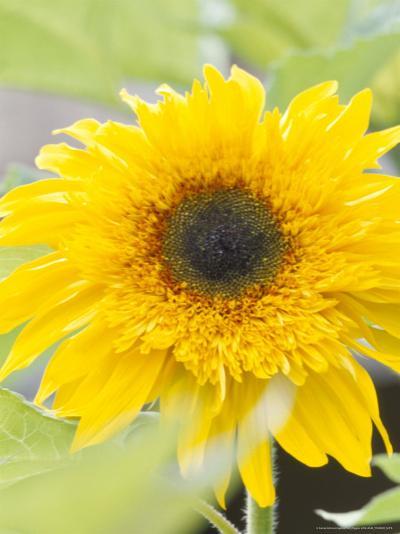 Sunflower, Seattle, Washington, USA-Terry Eggers-Photographic Print