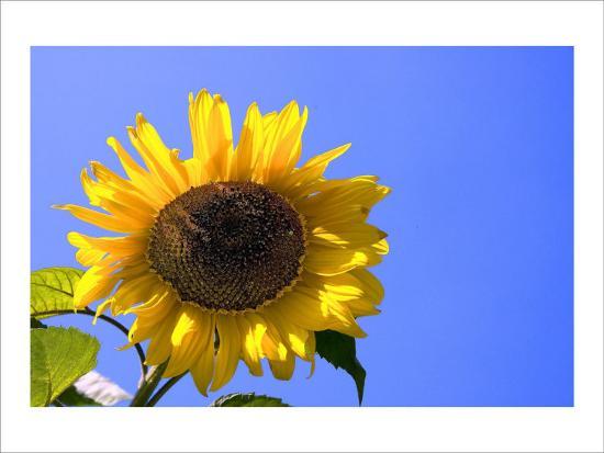 Sunflower Splendor-Stephen Lebovits-Giclee Print