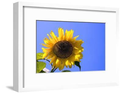 Sunflower Splendor-Stephen Lebovits-Framed Giclee Print