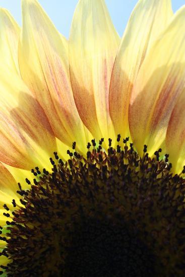 Sunflower V-Tammy Putman-Photographic Print
