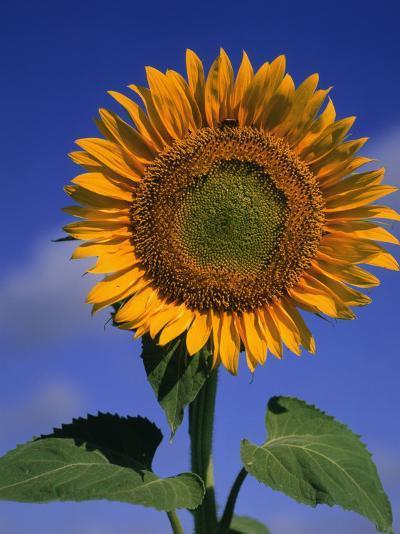Sunflower-Eric Horan-Photographic Print