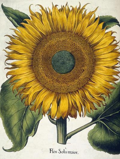 Sunflower--Giclee Print