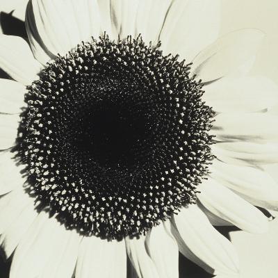 Sunflower-Graeme Harris-Photographic Print