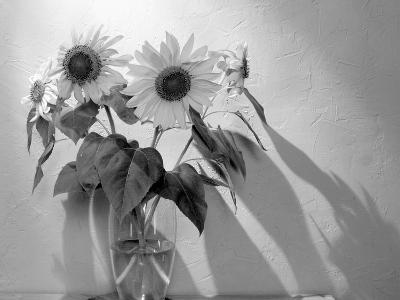Sunflower-Anna Miller-Photographic Print