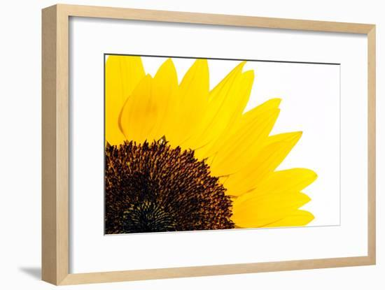 Sunflower-PASIEKA-Framed Photographic Print
