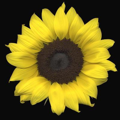 Sunflower--Photographic Print