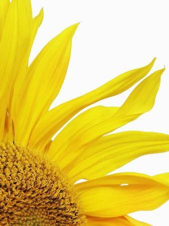 https://imgc.artprintimages.com/img/print/sunflower_u-l-pzlfzp0.jpg?p=0