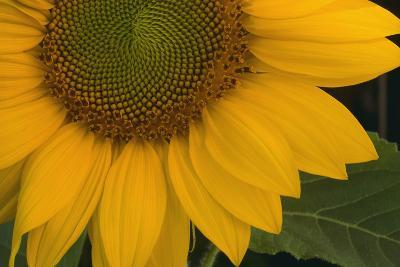 Sunflower-DLILLC-Photographic Print