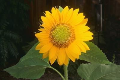 Sunflower-DLILLC-Photographic Print