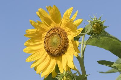 https://imgc.artprintimages.com/img/print/sunflower_u-l-q1bvpkq0.jpg?p=0