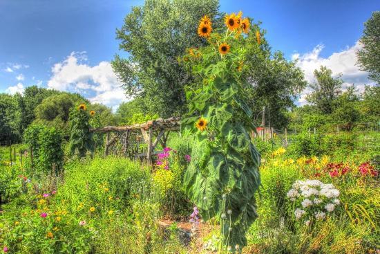 Sunflowers and Garden-Robert Goldwitz-Premium Giclee Print