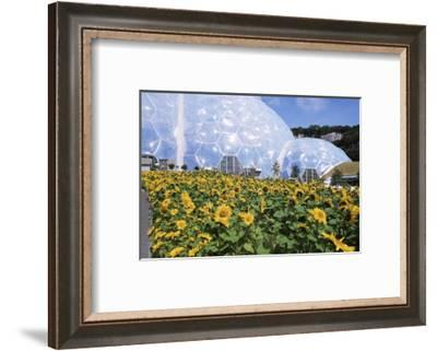 Sunflowers and the Humid Tropics Biome, the Eden Project, Near St. Austell, Cornwall, England-Jenny Pate-Framed Photographic Print