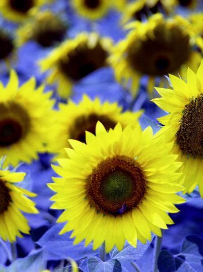 Sunflowers Closeup-Abdul Kadir Audah-Photographic Print