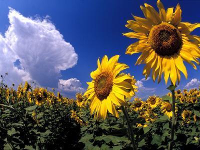 Sunflowers, Colorado, USA-Terry Eggers-Photographic Print