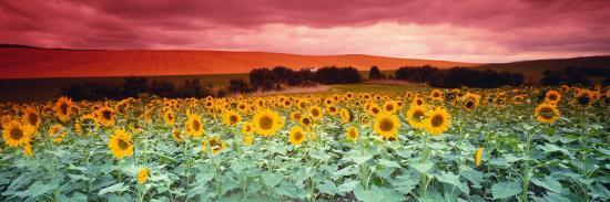 Sunflowers, Corbada, Spain--Photographic Print