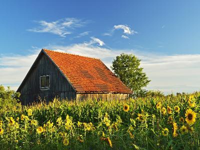 Sunflowers (Helianthus Annuus), Villingen-Schwenningen, Black Forest, Schwarzwald-Baar, Germany-Jochen Schlenker-Photographic Print