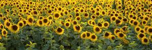 Sunflowers in a Field, Bouches-Du-Rhone, Provence, France