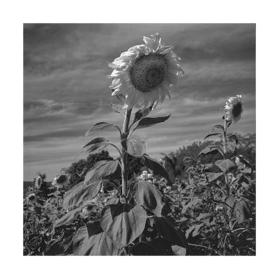 Sunflowers in Field-Henri Silberman-Photographic Print