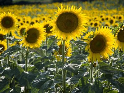 Sunflowers in the Summer; Tuscany, Italy, Europe-Carlos Sanchez Pereyra-Photographic Print