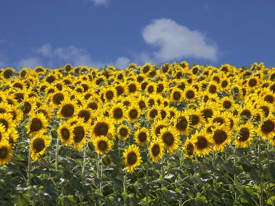 Sunflowers in Tuscany, Italy, Europe-Angelo Cavalli-Photographic Print