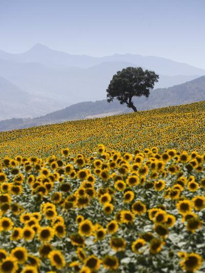 Sunflowers, Near Ronda, Andalucia, Spain, Europe-Mark Banks-Photographic Print