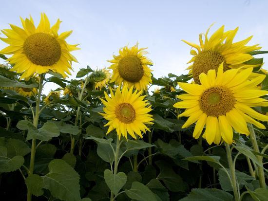 Sunflowers on Cape Breton Island-Karen Kasmauski-Photographic Print