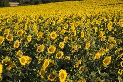 https://imgc.artprintimages.com/img/print/sunflowers-provence-france-europe_u-l-pnf76p0.jpg?p=0