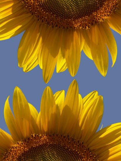 Sunflowers-Abdul Kadir Audah-Photographic Print