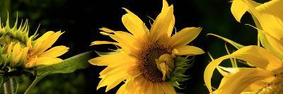 Sunflowers--Photographic Print
