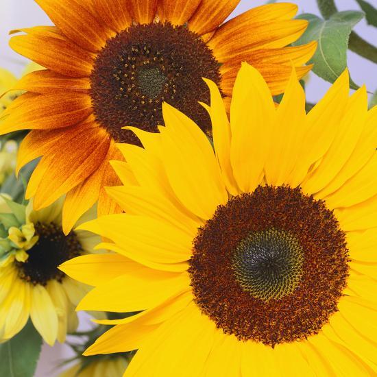 Sunflowers-DLILLC-Photographic Print