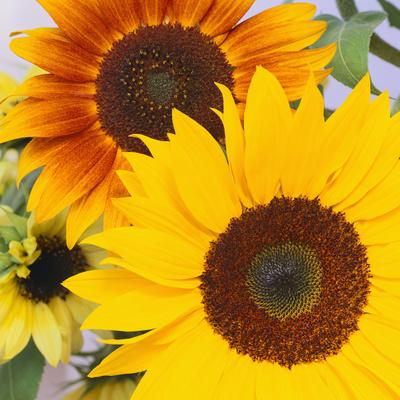 https://imgc.artprintimages.com/img/print/sunflowers_u-l-pzvmem0.jpg?p=0