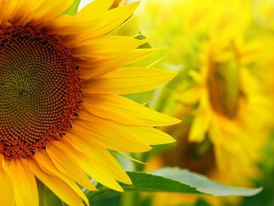 Sunflowers-SJ Travel Photo and Video-Photographic Print