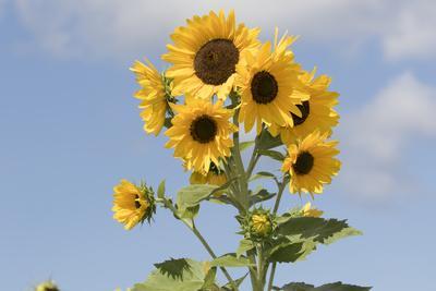 https://imgc.artprintimages.com/img/print/sunflowers_u-l-q1bvpks0.jpg?p=0
