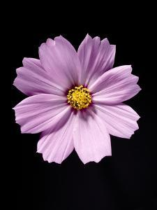 Close-up of a cosmos by Sung-Il Kim
