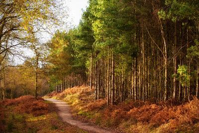 Sunlight across Trees in Cannock Chase-Verity E. Milligan-Photographic Print