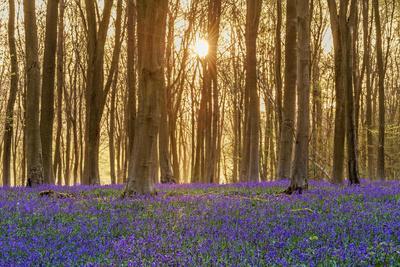 https://imgc.artprintimages.com/img/print/sunlight-bursting-through-trees-just-after-dawn-in-beech-woodland-full-of-bluebells_u-l-q130ezj0.jpg?p=0