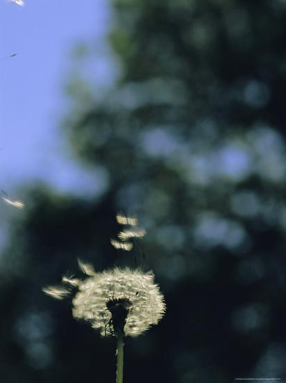 Sunlight Catches Wind-Blown Dandelion Seeds as They Fly From the Stem-Norbert Rosing-Photographic Print